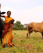 Jallikattu Kaalai Photos