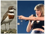 Taylor Swift Getting Sued For Risking Dotterel Bird Habitat In New Zealand Auckland