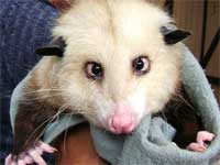 Cross-eyed possum