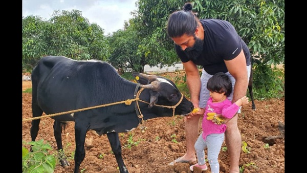Yash S Picture With Daughter Ayra Feeding A Cow Will Make You Go Aww
