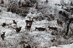 Endangered hanguls in Kashmir